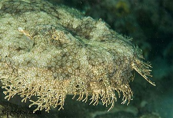 Species Tasselled Wobbegong Pictured Bottom Right Japanese Spotted Top Left Ornate Northern